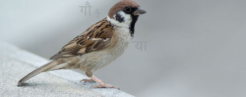 images-stories-sparrow